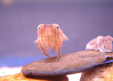 blue-reef-aquarium-baby-cuttlefish.jpg